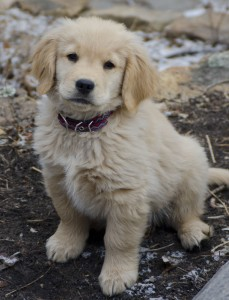 Sully, the Golden Retriever Puppy