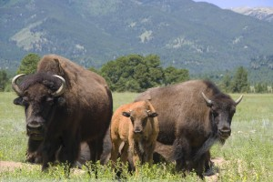 Bison Family - Photo Tripping America