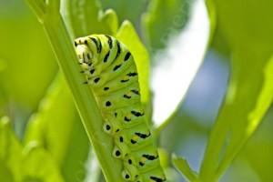 Black Swallowtail Caterpillar - Photo Tripping America