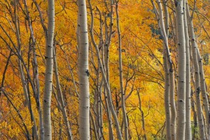Aspen Trees in Autumn - Photo Tripping America