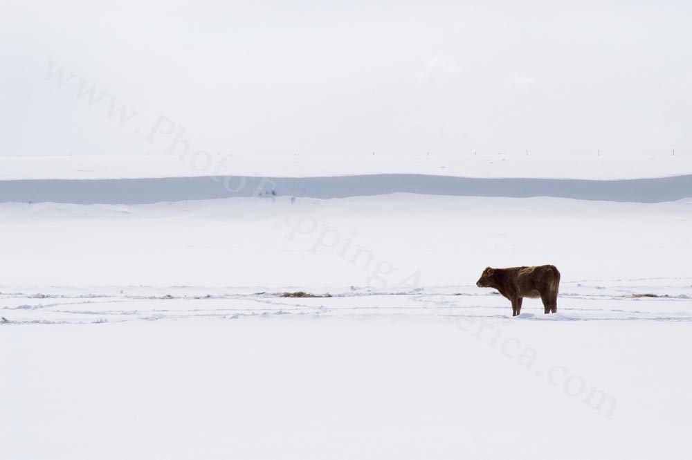 Lone Cow in the Snow - Photo Tripping America